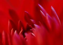 Celebration (AnyMotion) Tags: flowers red plants macro rot nature floral colors garden colours blossom frankfurt natur pflanzen blumen flickrversary makro blte garten fa farben 2010 dahlie cactusdahlia makroaufnahmen anymotion bej kaktusdahlie canoneos5dmarkii 5d2 ubej mupix