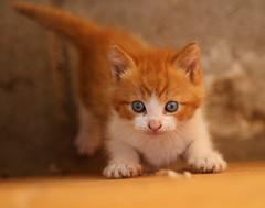 It's A Big World (gill4kleuren - 11 ml views) Tags: red playing beauty cat eyes kitten kat little kitty