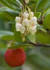Strawberry Tree (Vesuvianite) Tags: strawberrytree arbutusunedo goldamazingdetails