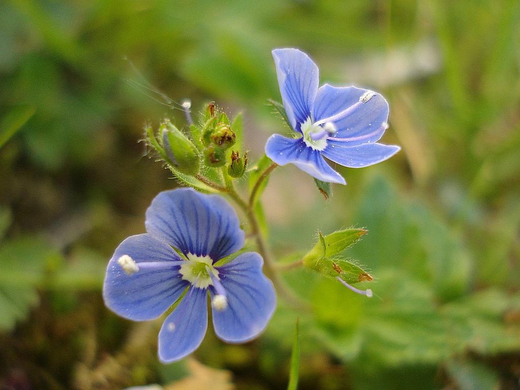 Liten blomma