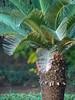 Sagutero (Dinesh Valke) Tags: flora cycas cycadaceae tender tropicals perennials sagopalm sagocycas cycasrevoluta sotetsu cycadfamily sagocycad sutie cycasmiquelii varbrevifrons varplanifolia varprolifera varrobusta japanesesagopalm kingsago kingsagopalm tieshu cicasrevoluta cycasdujapon cycassagoutier palmaasagù palmasagú saagopalmu sagopalme sagovaiapalma sagovnikponikaiushchii sagovnikponikshii sagutero socheol tsikasponikaiushchii