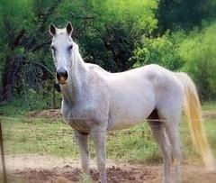 "Magi's Phantom Roan - ""Kaspur"" (HDQH) Tags: life ranch horses rural grey texas buddies farm tx buda cental hdqh kaspur meredithwoodwenranch quarterhorsetype"