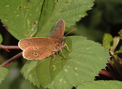 """Ringlet Butterfly (Aphantopus hyperan(9) • <a style=""""font-size:0.8em;"""" href=""""http://www.flickr.com/photos/57024565@N00/715041199/"""" target=""""_blank"""">View on Flickr</a>"""