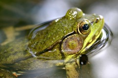 A Frog's Surface Tension (Razzy Raz) Tags: nature ilovenature amphibian frog frogs amphibians soe greenfrog naturesfinest ranaclamitans prockter flickrsbest