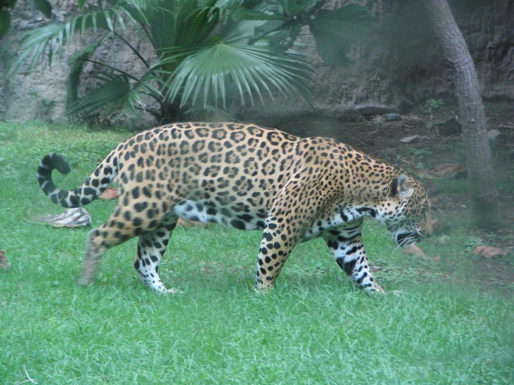 top screensavers of animal jaguar tiger image