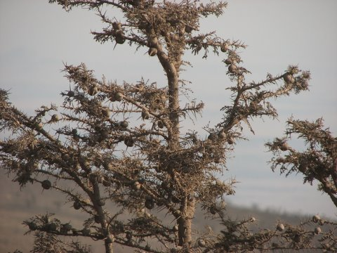 Whistling thorn acacia plant