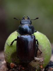scarabé sur une petite pomme 2 - by Hannibal Poenaru