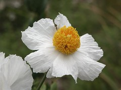 Romneya coulteri, a CA native, available at Cornflower Farms