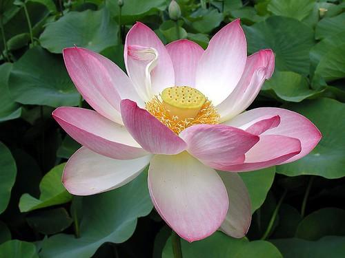 Pink White Lotus Flower