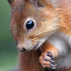You want closeups? (Tomi Tapio) Tags: eye face cemetery closeup helsinki squirrel whiskers personalfavorite thumb orava tame claws cureuil hietaniemi sciurusvulgaris naturesfinest sqrl flickrsbest eyereflection canonef85mmf18usm eurasianredsquirrel kurre theperfectphotographer