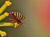 "Sraphosoma lineatum  italicum (aziouezmazouz) Tags: cute amazing colours bokeh cutie beautifulscenery bellissima naturesfinest vibrantcolours nicecapture beautifulcapture anawesomeshot naturewatcher ""flickraward"" vividstriking ""flickraward5"" ""physis ringexcellence"