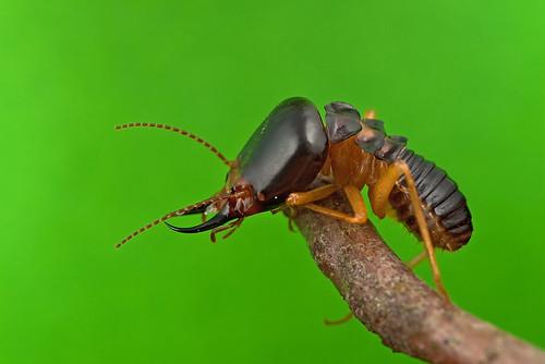 ... Termite 白蟻 ...