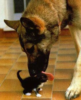 German Shepherd and a kitten