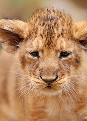 Lion cub closeup