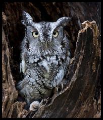 Eastern screech owl (Jen St. Louis) Tags: ontario canada tree birds ngc getty mountsberg captive owls gettyimages easternscreechowl perching screechowl megascopsasio nikkor300mmf4 nikond90 mountsbergraptorcentre jenstlouis jenstloui