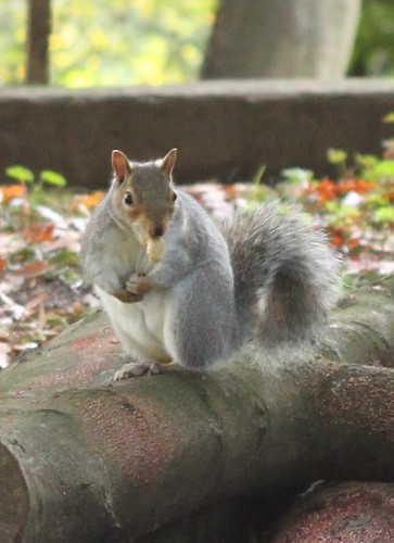 a squirrel in Richmond Park