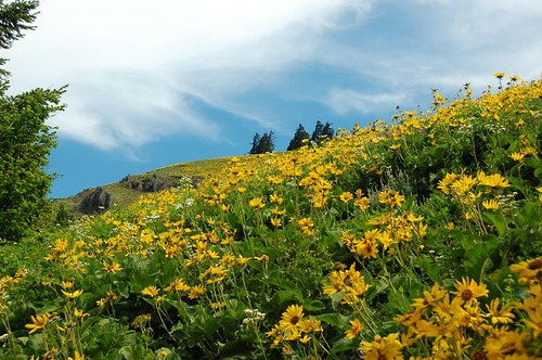 Balsamroot everywhere!