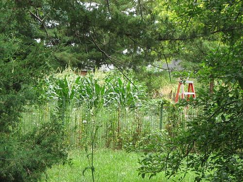 The neighbor's corn