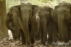 _MG_9098.jpg (dickysingh) Tags: wild india nature big outdoor wildlife aditya elephants corbett singh corbet dicky indianwildlife indianelephants corbettnationalpark asianelephants corbetttigerreserve asiaticelephants elephantpark wildelephants elephantreserve ranthambhorebagh adityasingh dickysingh ranthamborebagh theranthambhorebagh wwwranthambhorecom