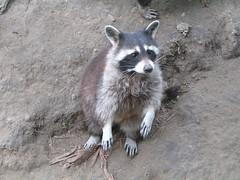 Nosey raccoon (Sibi) Tags: born raccoon wildpark localzoo kasteelpark
