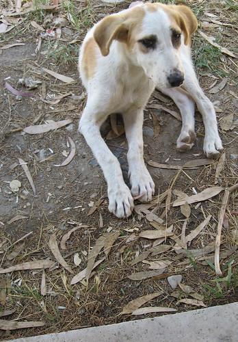 Turkish Puppy