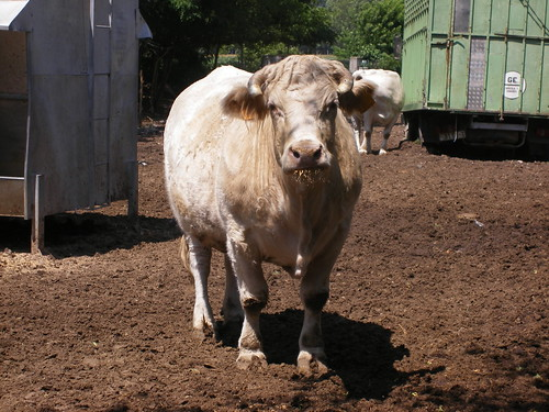 Hola vaca!