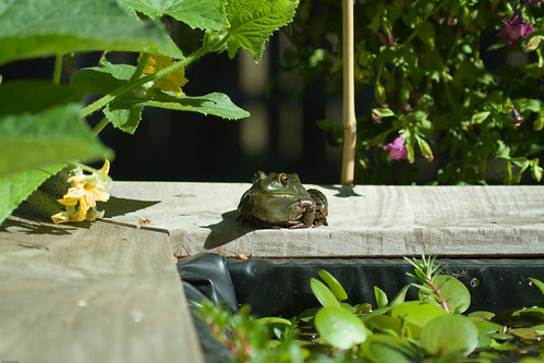 Frog on Edge of Pond