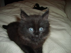 Oscar Pie (sarbar77) Tags: black cat blackcat furry kitten kitty fluffy