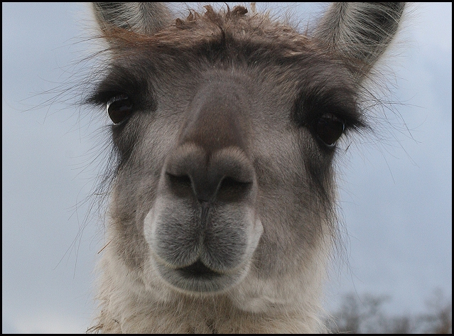 Precious Faces - Guanaco
