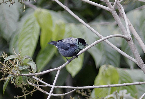 Black-capped Tanager, male