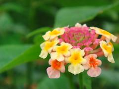 flower (jk10976) Tags: flowers nepal flower asia searchthebest vivid kathmandu ~ flickrsbest abigfave anawesomeshot diamondclassphotographer flickrdiamond jk10976 adoublefave excapture jkjk976