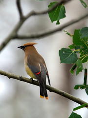 Cedar Waxwing , police outpost provincial park Alberta (canuck4everr) Tags: park nikon iso400 police alberta d200 f56 provincial outpost 420mm 0003sec 0ev ures2 hpexif xres300 yres300