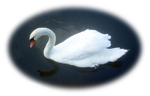 ハクチョウ the swan