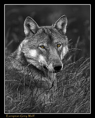 European Grey Wolf (David Brennan) Tags: park grey scotland wolf european wildlife highland kingussie