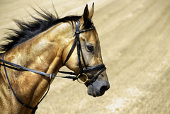 gold in gold (Dan65) Tags: horse field golden bravo head sweat canter shimmer goldleaf teke akhal akhalteke gazan