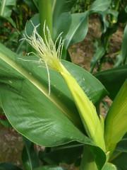 玉米小時候的樣子