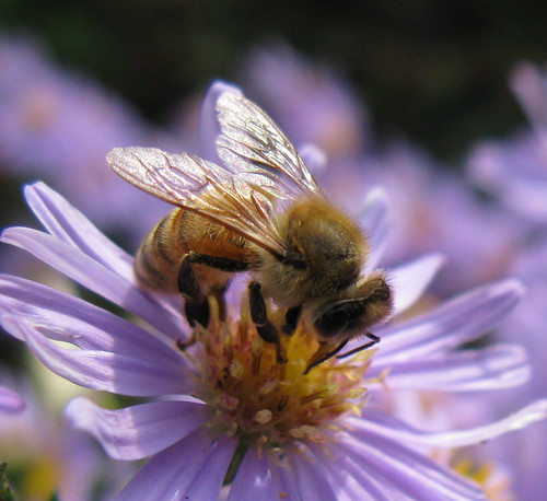Honey Bee on  Aster laevis