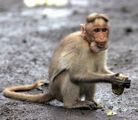 greedy macaque