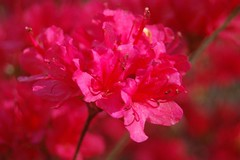 Red on Red (mimicapecod) Tags: flowers azalea inspire redflowers paintedflowers fantasticflower redazalea colorphotoaward flickrsfantasticflowers allkindsofbeauty azealeabush