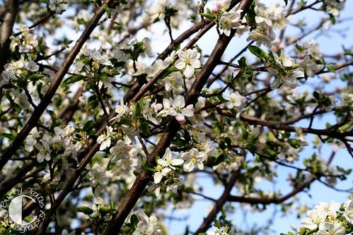 131-abundant blossoms 1