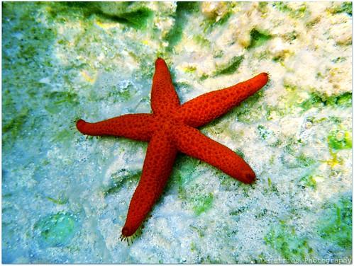 Real starfish underwater - photo#12
