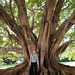 Moreten Bay Fig