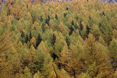 Fall (little_frank) Tags: autumn wild italy panorama orange brown mountain color colour tree green fall nature beautiful beauty yellow alberi forest automne wonderful wonder landscape golden nationalpark amazing scenery colorful europe solitude italia alone loneliness peace silent view place natural herbst herfst peaceful tranquility natura mount silence stunning scenario hood otoo lonely colourful wilderness  fabulous autunno idyllic montagna autumnal outono breathtaking slope impressive montano arancione marvellous unspoiled valledaosta   cogne parconazionale granparadiso aostavalley valledaoste paesaggioautunnale aostatal
