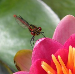 Red Damselfly DSCF8060 (Robert.Pittman) Tags: uk macro closeup pond cornwall waterlily lostwithiel reddamselfly fujifinepixs8000fd