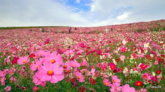 Field of Colors, Japan (_takau99) Tags: park trip travel autumn vacation holiday flower fall topv111 japan pen topv555 topv333 october topv1111 topv444 olympus topv222 topf10 cosmos hitachi 2010 ibaraki seasidepark コスモス topf20 茨城 takau99 ひたち penlite ひたち海浜公園 kaihinpark hitachiseasidepark nationalgovernmentpark epl1 国営公園 hitachikaihin