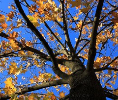 Blue and Gold (Lyle58) Tags: blue autumn trees sky brown tree fall nature leaves yellow botanical gold maple october branches lookingup acer trunk limbs skyward autumnal hardmaple