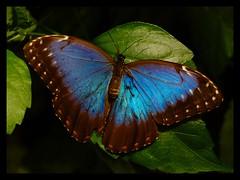 Blue butterfly (Kirsten M Lentoft) Tags: blue topf25 topc25 topv111 butterfly copenhagen denmark zoo topc50 topv222 topvaa specnature 250v10f animalkingdomelite 30f30c300v impressedbeauty superaplus aplusphoto momse2600 wowiekazowie diamondclassphotographer flickrdiamond top20blue flickrphotoaward natureoutpost kirstenmlentoft
