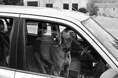 dog in car with wild eye