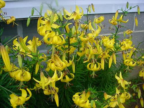 Lots of Lilies in Mom's Garden