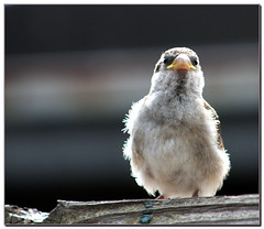 I am going to be a boy! (Maureen F.) Tags: bravo feathers young sparrow housesparrow passerdomesticus soe naturesfinest englishsparrow maureenf featheryfriday fledge specnature eos400d canonrebelxti anawesomeshot superaplus aplusphoto infinestyle lmaoanimalphotoaward